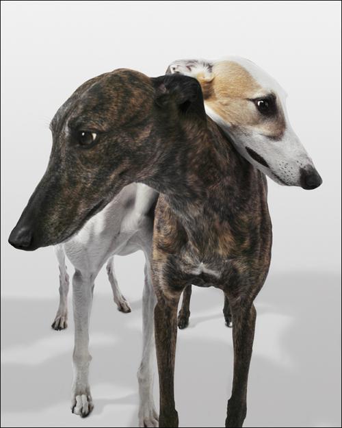 Galgos et Greyhounds, différences et points communs