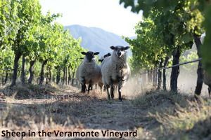 Sheep in Veramonte Vineyard