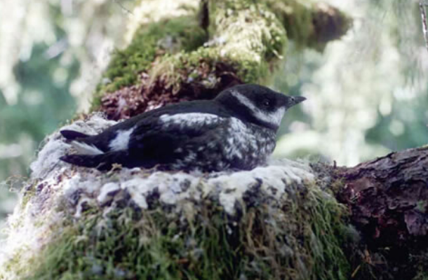 Marbled Murrelet inNest_Thomas Hamer_HamerEnviornmental LP_Press Release.png