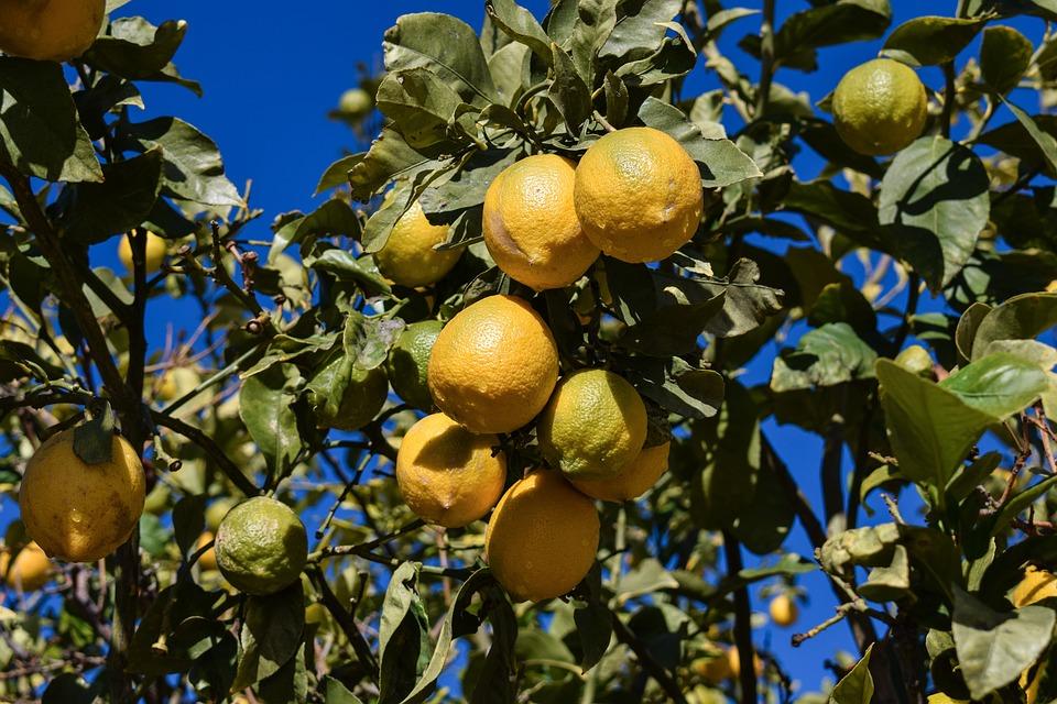 El precio del limón se desploma respecto al de hace un año