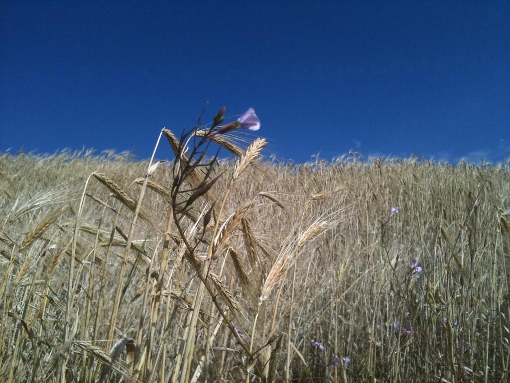 El USDA revisa al alza sus previsiones de producción mundial de cereales secundarios
