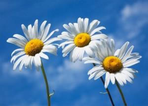 Hoa cuc trang (2)