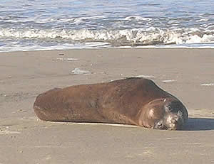 Sea Lion Death