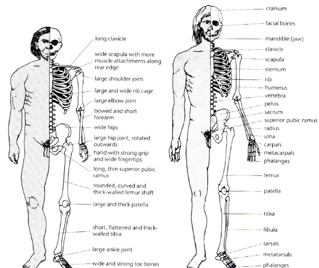 Neanderthal/Cro-Magnon Comparison