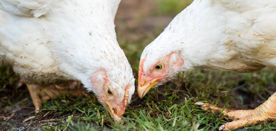 Rescued broiler chickens