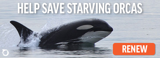 Help Save Starving Orcas