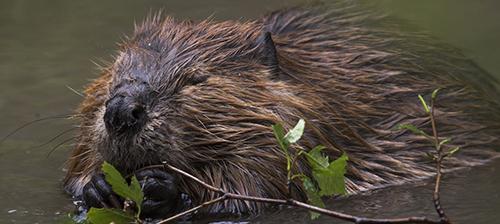 Beavers: Nature's Best Engineers