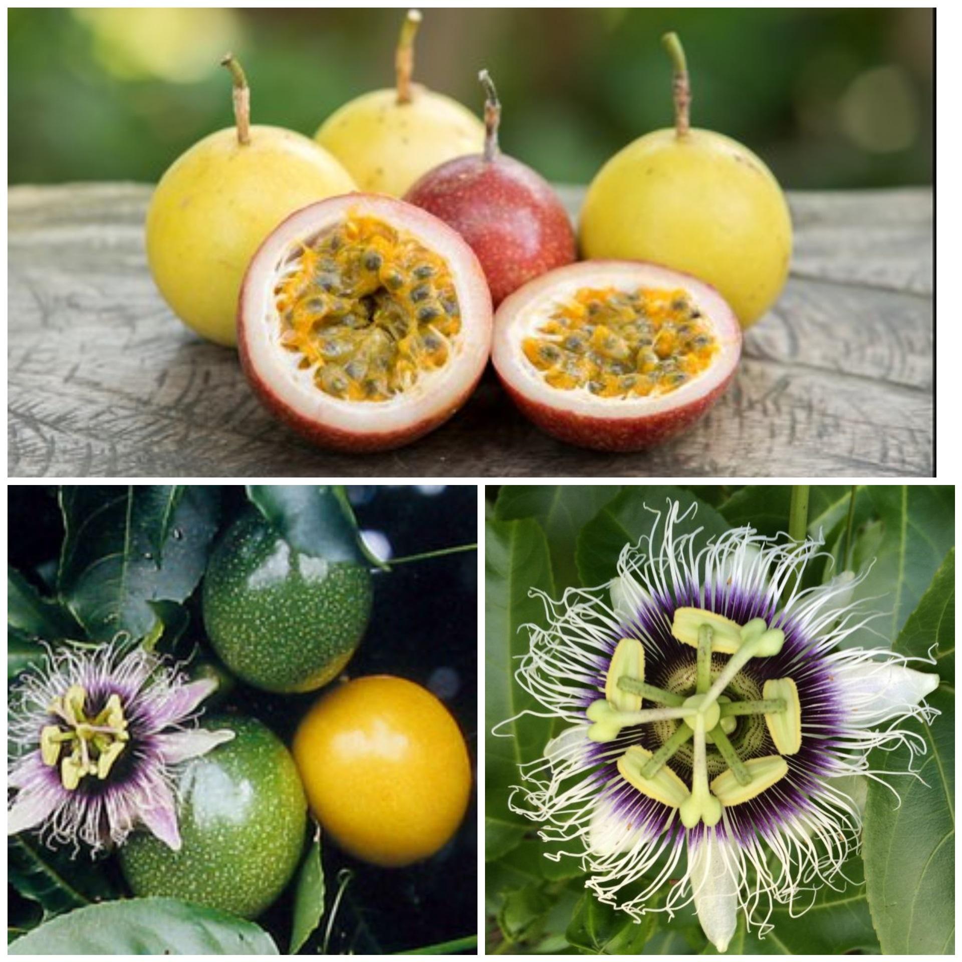 Passiflora Edulis Flavicarpa Lilikoi – Aloha Tropicals