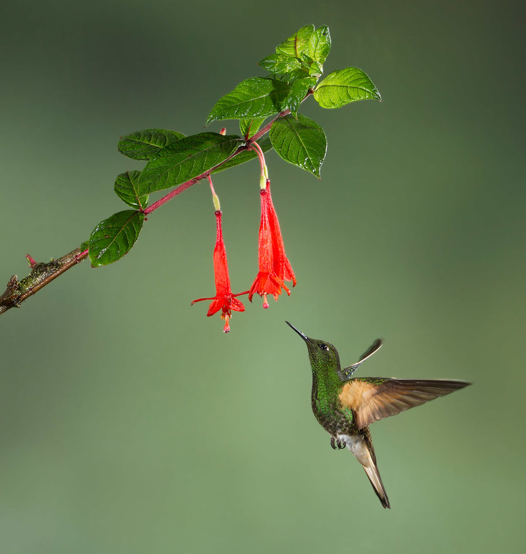 Buff-tailed Coronet | von Yamil Saenz