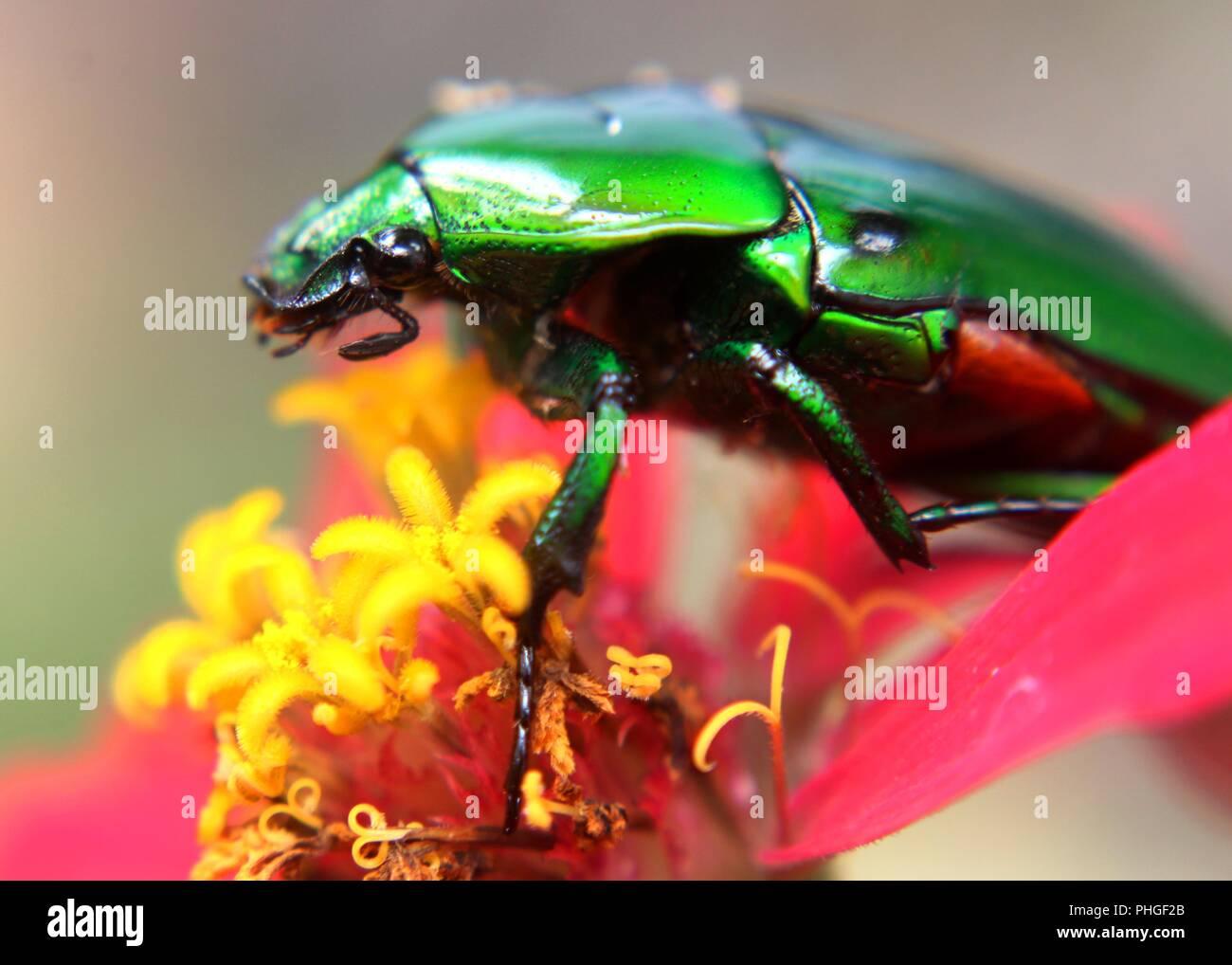 Gros plan d'une couleur vert lumineux, insecte bousier, scarabée sacré trouvé dans un jardin au Sri Lanka Banque D'Images