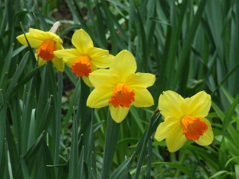 Image result for hoa thủy tiên vàng