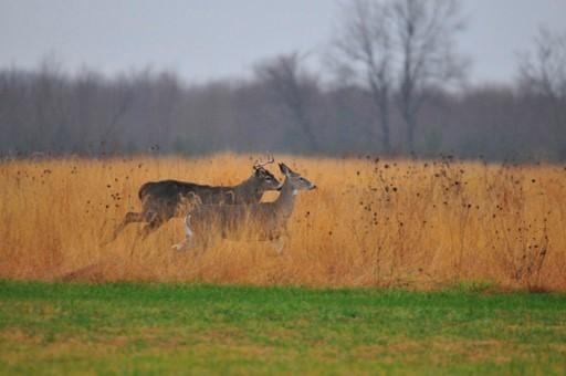 Deer running through fall field