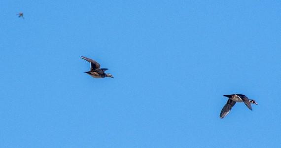 Wood ducks flying against blue sky
