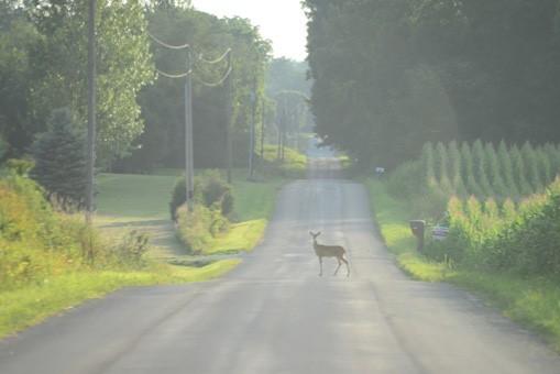 Deer standing in center of road