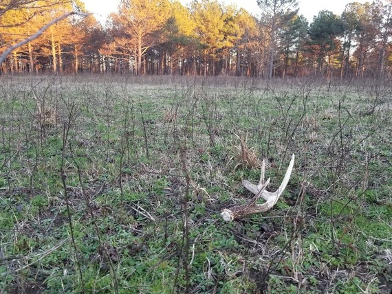 Shed antler in field