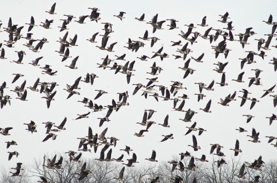 Greater white-fronted geese, snow geese, and Ross's geese in flight