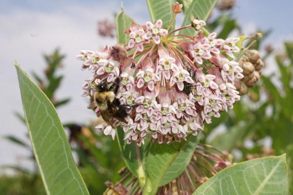 Bee on common milkweed flower