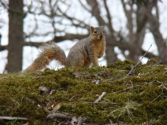 Fox squirrel on a log
