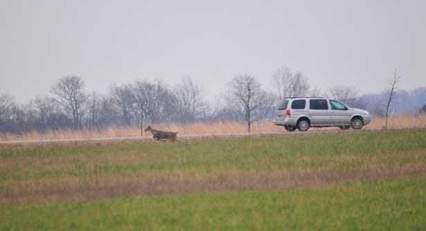 deer car