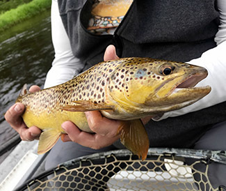 A beautiful brown trout is shown caught on a Roberts' Yellow Drake fly.