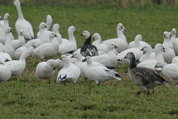 white an Ross' goose