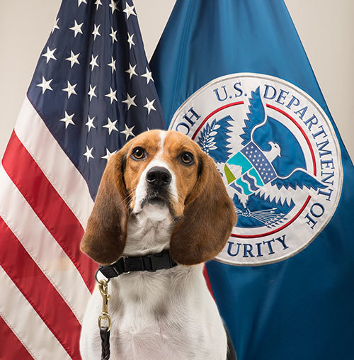 """""""Beagle Brigade"""" member Hardy's official photo. (Photo credit: Department of Homeland Security's U.S. Customs and Border Protection)"""