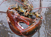 lobsteramer