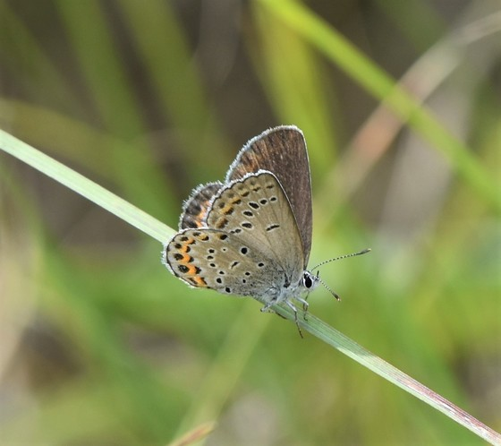 karner blue butterfly on blade of grass
