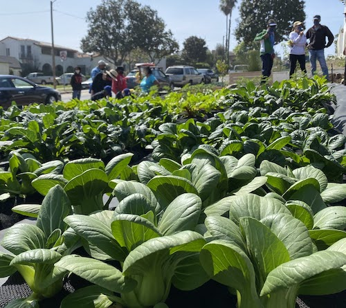 Crop Swap LA garden