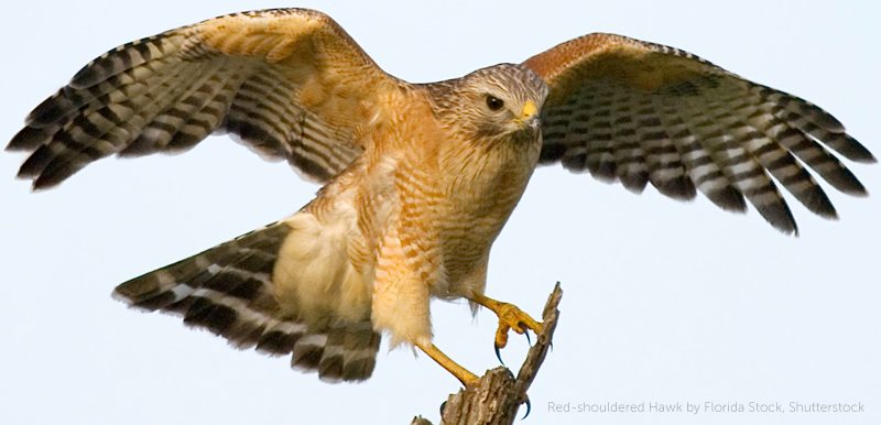 Red-Shouldered Hawk, Florida Stock, Shutterstock