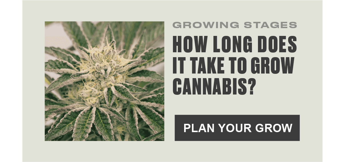 how_long_does_to_grow_cannabis