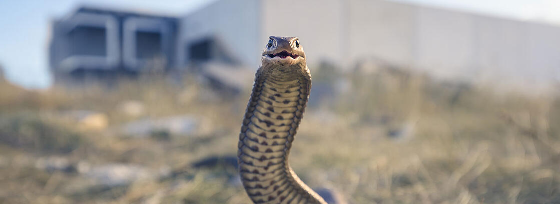 070820-Man-fights-off-one-of-the-worlds-deadliest-snakes-while-driving