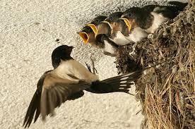 Kén ruồi lính đen làm thức ăn cho yến - Ruồi Lính Đen