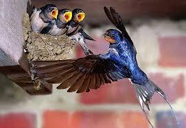 Ласточка птица: перелетная деревенская, городская, что едят и сколько живут