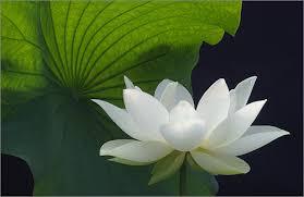 Tổng hợp những bức hình đẹp về hoa sen trắng dưới góc ảnh nghệ sĩ