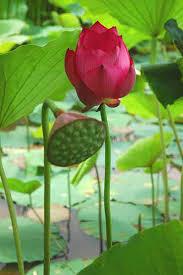 Sen hồng là Quốc hoa? | Mai Vàng | Báo Người Lao Động Online