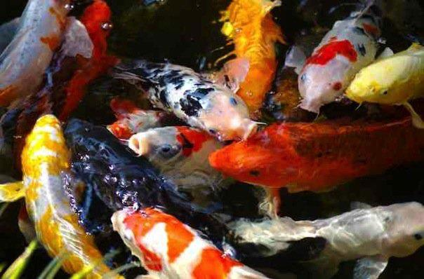 Koi, th Jewels of the Pond