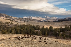 Yellowstone National Park Bison Herd grazing as a storm rolls in