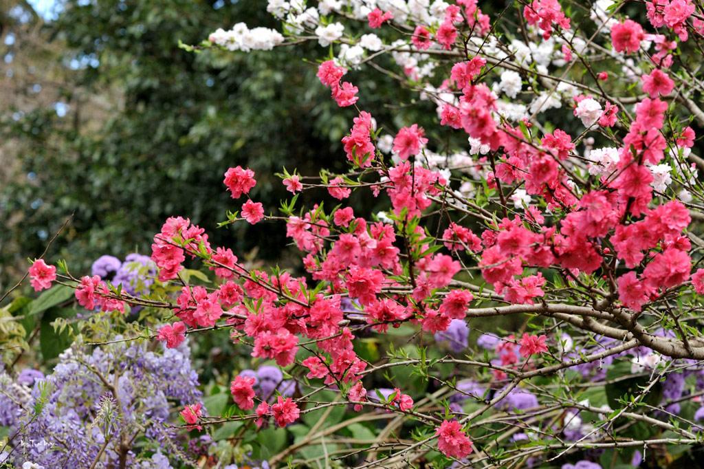 Sự tích về hoa đào trong ngày tết