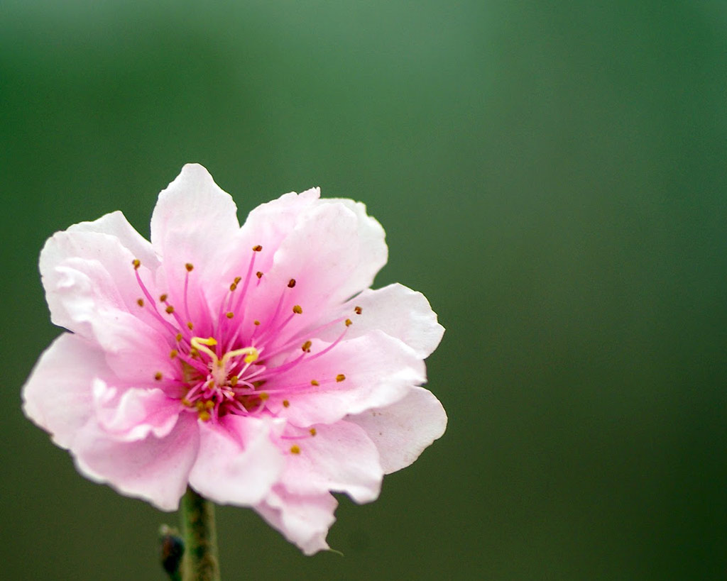 Ngày xưa, ở phía đông núi Sóc Sơn có một cây hoa đào cổ thụ, cành lá xum xuê khác thường, bóng râm che phủ cả một vùng rộng.