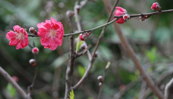Chùm ảnh: Hoa đào đẹp rực rỡ đón tết 2020