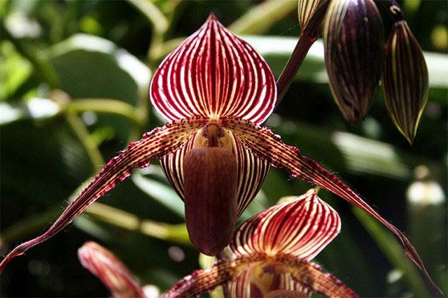Hoa Gold of Kinabalu Orchid