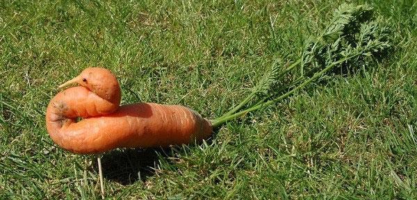 Củ cà rốt này chắc hẳn đã khiến không ít người lầm tưởng là một con chim kỳ lạ đầy màu sắc.