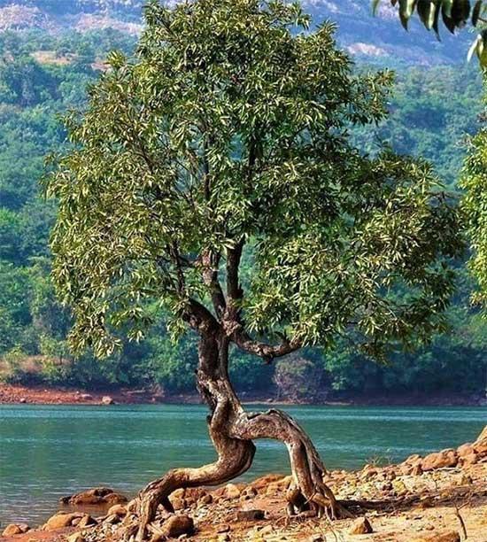 Cái cây có bộ rễ độc đáo, nó đang chạy trốn khỏi điều gì chăng?