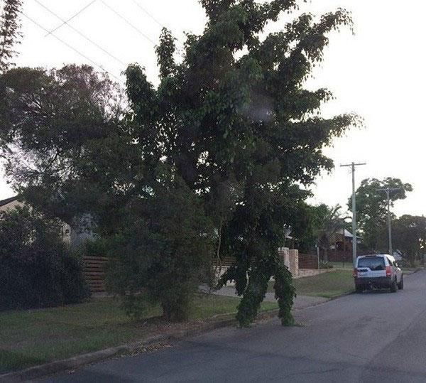 Còn cái cây này lại có những tán lá rủ xuống như một người đàn ông đang đứng đợi để băng qua đường.