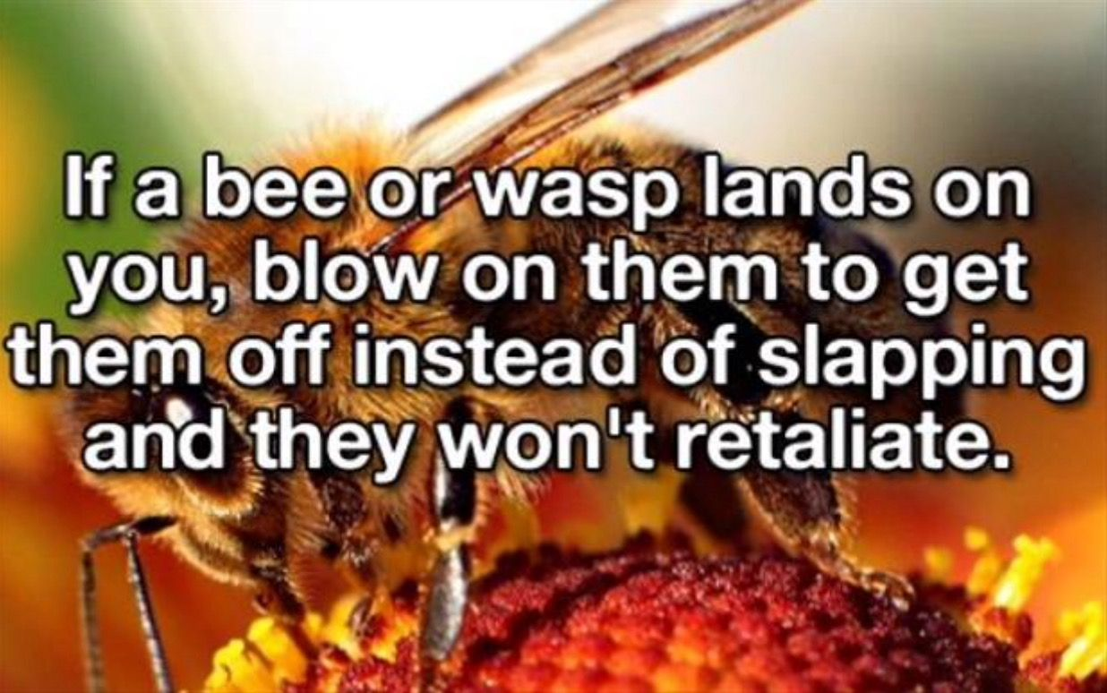 Image result for blowing on a bee and they won't retaliate