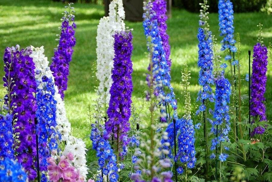 Hạt giống Hoa Phi Yến | Delphiniums, Hoa