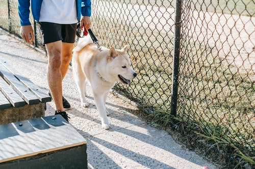 Crop anonymous male owner in casual apparel strolling with West Siberian Laika on leash between grid fence and street bench