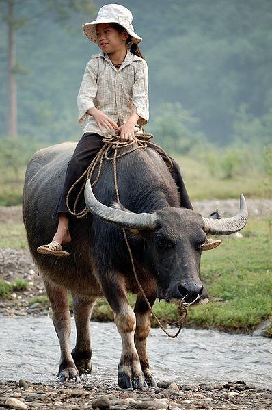 File:Walking the water buffalo.jpg