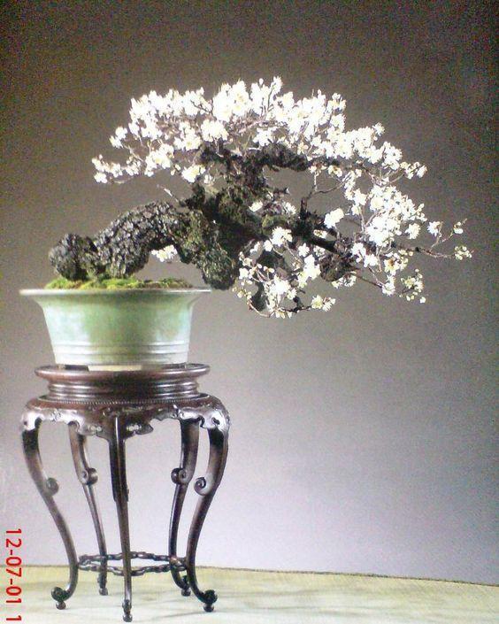 Revue du bonsaï web – septembre 2012 n°5 - actubonsai